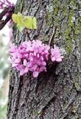 Floración caulinar en el tronco Fuente: http://waste.ideal.es/